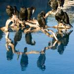 """Cormorant reflection"" by athleticpete"