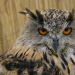 """Eagle owl"" by athleticpete"