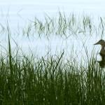 """""""Duck in the weeds"""" by SusanPszenitzki"""