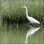 """""""Great White Egret"""" by SusanPszenitzki"""