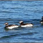 """""""Long Tail Ducks on LI Sound"""" by SusanPszenitzki"""