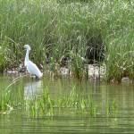 """Two Egrets"" by SusanPszenitzki"