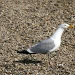 """Seagull"" by SusanPszenitzki"