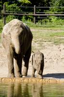 Baby Elephant Beco and Momma Phoebe are Twins