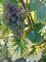 grapes and two tone leaves