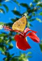 Giant Cloudless Sulphur on fractals