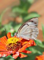 Great Southern White - Ascia monuste