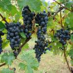 """""""grapes ready to be harvested"""" by Cathyscreations"""