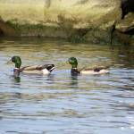 """""""Quack Quack"""" by Kimmary"""