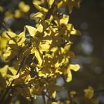 """Forsythia Glow"" by Dooquie"