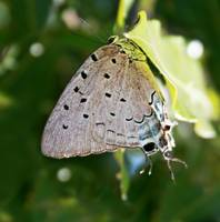 Marysas Hairstreak (Pseudolycaena marysas)