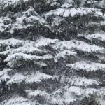 """Winter Pine (2009)"" by j_lee"