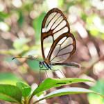 """Erruca Clearwing  (Pseudoscada erruca)"" by annatheodora"