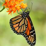 """Monarch Butterfly"" by Tanager"