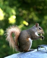 Squirrel with fry