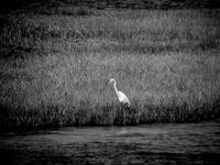 Crane along the Sound, Outer Banks