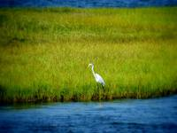 Crane along the Sound (Color), Outer Banks
