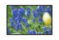 Bluebellflowers0401
