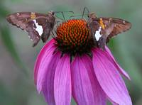 Twin Butterflys on Pink Flower_edited-1