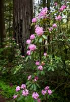 Spring In The Redwoods