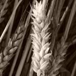 """""""Straw hay"""" by jennmiller15"""