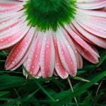 """""""Gerber Daisy"""" by jennmiller15"""