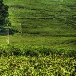 """""""Tea Field."""" by JakobMontrasio"""