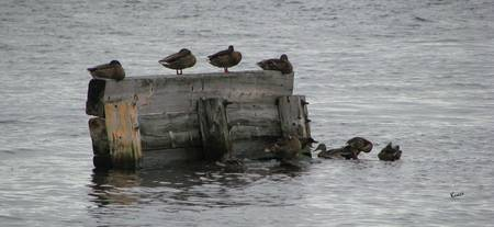 Ducks on a Dock