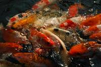 Koi Feeding Frenzy