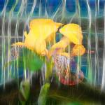 """Yellow Iris"" by artforcancer"
