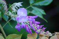 2nd bloom Wisteria