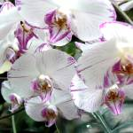 """Orchids"" by contralto05"