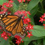 """Monarch"" by contralto05"