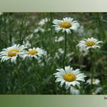 """Daisies"" by LydiaDavis"