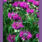 """Bee Balm with Border"" by LydiaDavis"