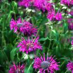 """Purple Bee Balm"" by LydiaDavis"