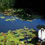 """""""Swan Pond"""" by bcgphoto"""