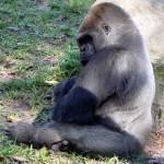 """Gorilla"" by contralto05"