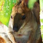 """""""Potoroo"""" by Godssong"""
