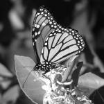 """Black and White Monarch Butterfly"" by KerryFletcher"