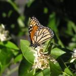 """Monarch Butterfly 2"" by KerryFletcher"