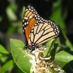 """Monarch Butterfly 1"" by KerryFletcher"