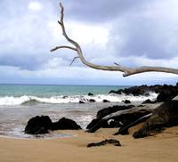 Hawaiian Beach Driftwood Tree