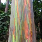 """Rainbow Eucalyptus Tree"" by KerryFletcher"