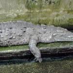 """Crocodile Reflecting"" by Acedarter"