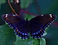 Purple Admiral Butterfly