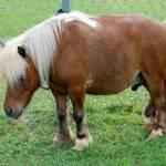 """minature horse 1b"" by imagineit"