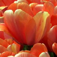 """Coral Tulips"" by noondaypublications"