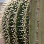 """Echinocactus grusonii 4"" by mjphotography"