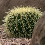 """Echinocactus grusonii 3"" by mjphotography"